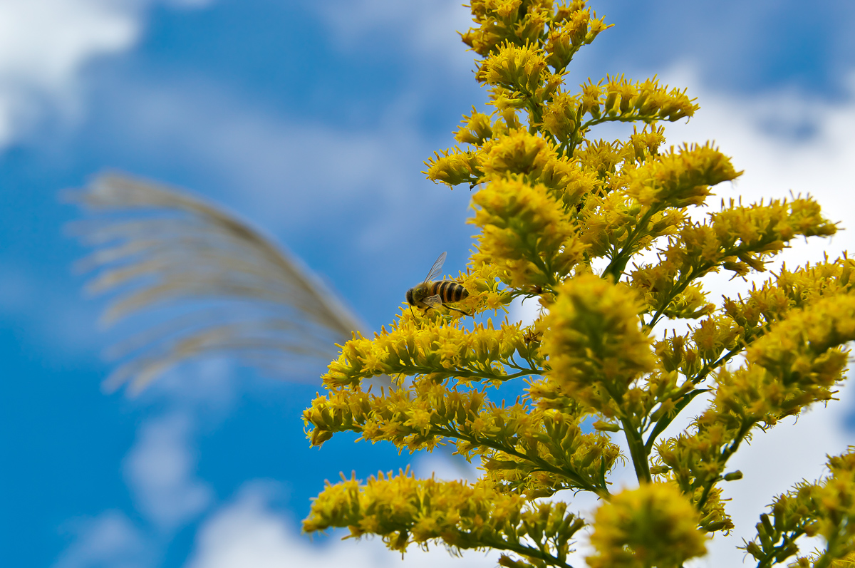 セイタカアワダチソウとミツバチ
